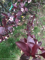 The sand cherry bushes are starting to pop.