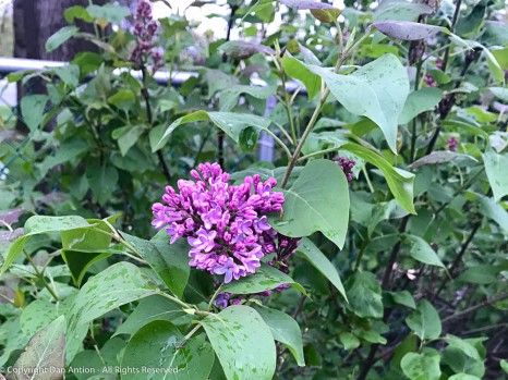 Our lilacs are brightening our days