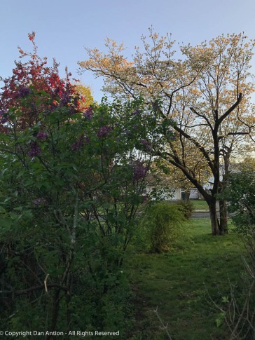 Lilacs, Dogwood and Crab apples.