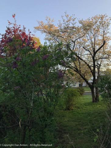 Lilacs, Dogwood and Crab apples.