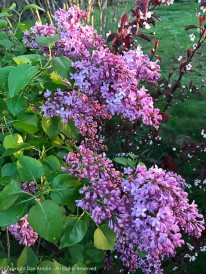 Our lilacs are filling out nicely.