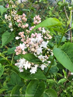 Officially, this is a Beauty of Moscow Lilac. It starts out pink (I'm told) and gradually turns white.