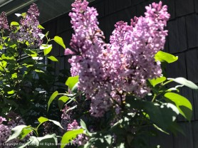 The lilacs are in full bloom now.