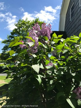 The lilacs were enjoying the sun.