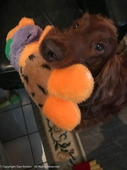 Maddie tempting me with a toy.