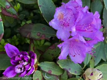 Rhododendron. Not sure what the spots are. We though this one was dead.