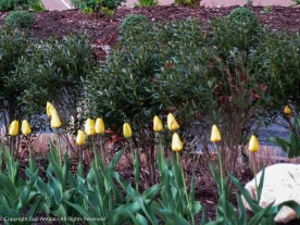 These tulips are at the north end of Great River Park (the dry end).