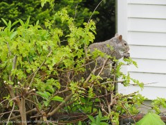 Mom squirrel finishing her snack.