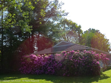 One of our neighbors has some serious Rhododendrons