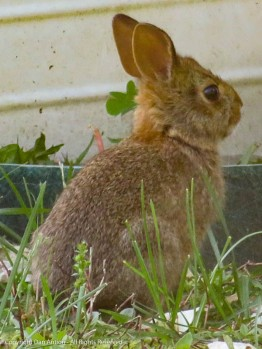 Bunny - not very big, but getting bigger.