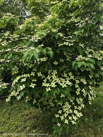 The Korean Dogwood is in full bloom.
