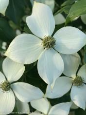 Korean Dogwood blossom.