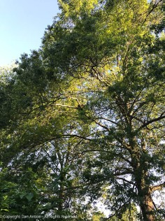 The sun is shining through our neighbor's oak tree.