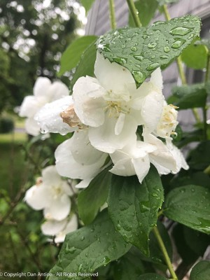 Mock orange in the rain.