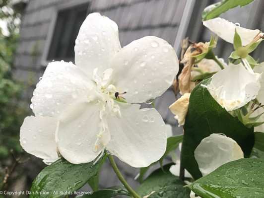 I think these are Mock Orange blossoms