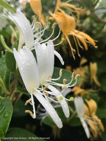 The honeysuckle seem to be enjoying the rain.