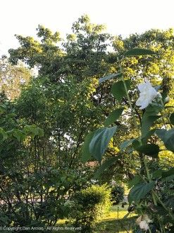 The last Mock Orange blossom in good shape competing with bright sunshine.