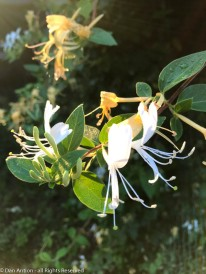 The honeysuckle smells so sweet right now.