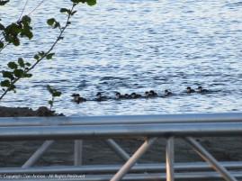 About a dozen baby ducks following an adult (just out of the frame).