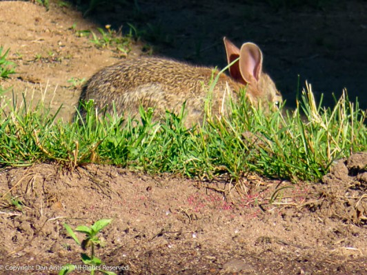 The larger of the two bunnies eating in our yard.