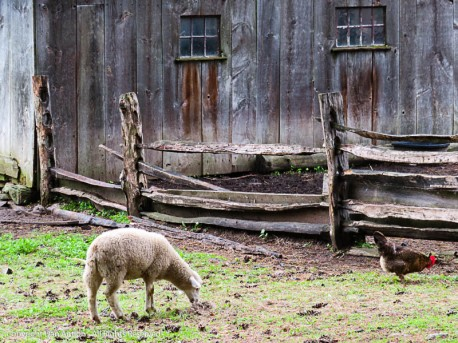 Sheep and roosters.