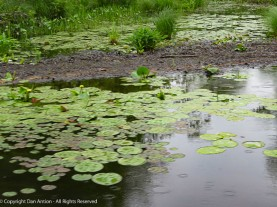 Water lilies are blooming.