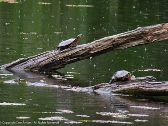 These are Painted Turtles (the name comes from the colors on their underside).