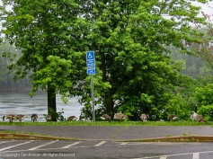 A large family of geese decided to visit Great River Park.