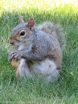 """Recent mom squirrel is hungry. Her habit is to eat one peanut and then """"ask"""" for another."""