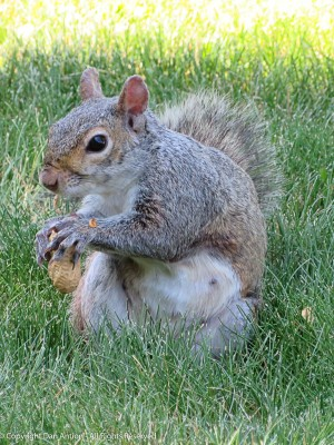 "Recent mom squirrel is hungry. Her habit is to eat one peanut and then ""ask"" for another."