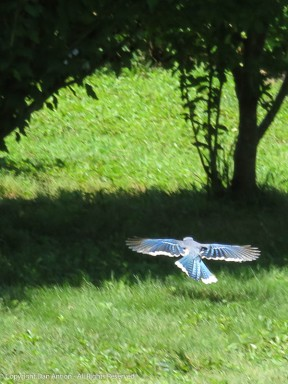 The Blue Jay is on his way with the peanut.