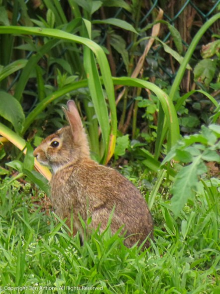 One of the bunnies who comes here for breakfast.
