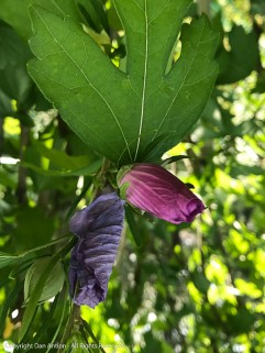 During the heat wave, the is what the Rose of Sharon looked like during the heat of the day.