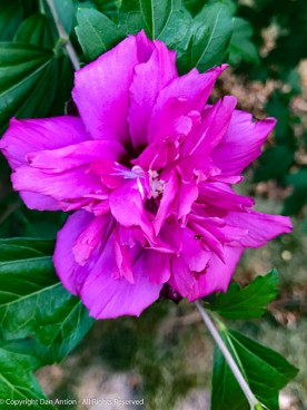 Double Rose of Sharon - We have two that are this color, with two white ones in between.