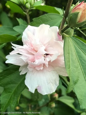 White double Rose of Sharon - these have just started to bloom.