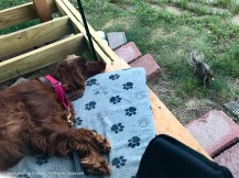 It's a good thing Irish Setters are bird dogs and not squirrel dogs.