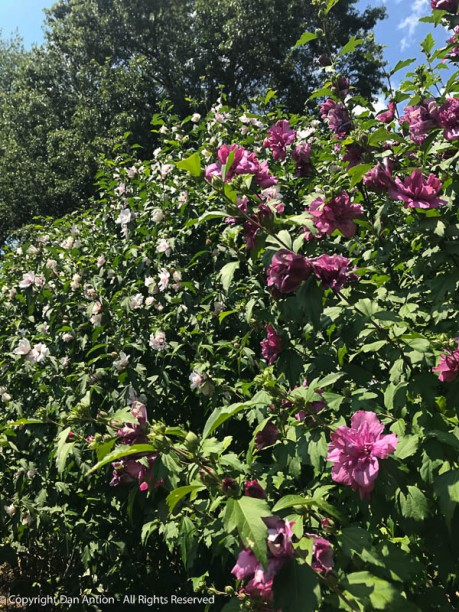 The Double Rose of Sharon popped into bloom big-time this week.