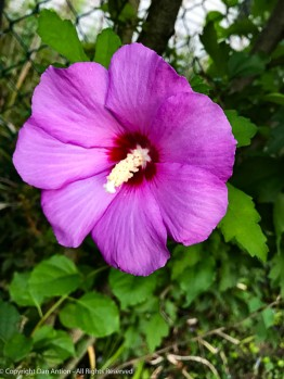 Single Rose of Sharon - we have a bunch of these.