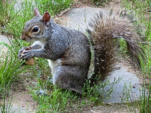 Usually, they carry the peanuts away, but sometimes they just sit and eat.