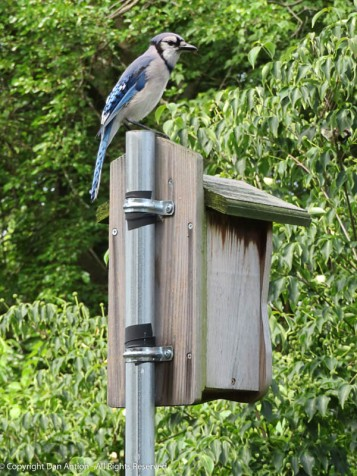 From Snoopy's house, Mr. Blue Jay can see all the peanuts. You have to be a good shot to get the peanut to the squirrel.