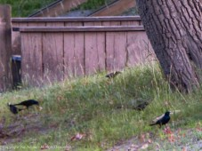 Black birds are a new favorite subject.