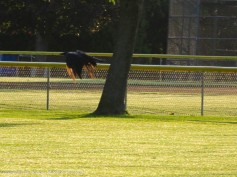 One of the crows has decide to shift to the other side of the field.
