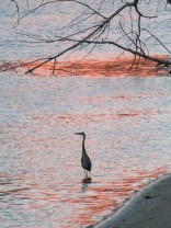 Heron basking in the reflected sunlight.