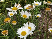 At least the daisies are still doing well.