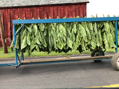 Tobacco on its way to the barn.