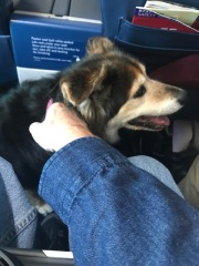 """Hold her while I use the restroom"" Is exactly how my seat mate enlisted my help. It's a good thing I like dogs."