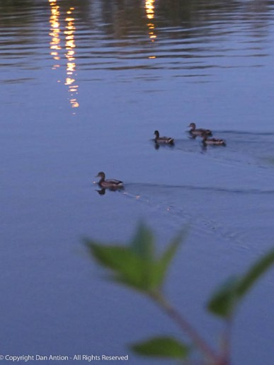 It's hard to tell from the picture, but these ducks were moving very fast. They're swimming with the current now.