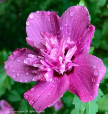 Drenched double Rose of Sharon