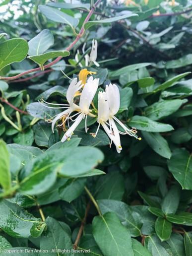 The Honeysuckle is blooming again.