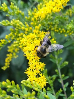The Goldenrod has attracted the remaining bees.